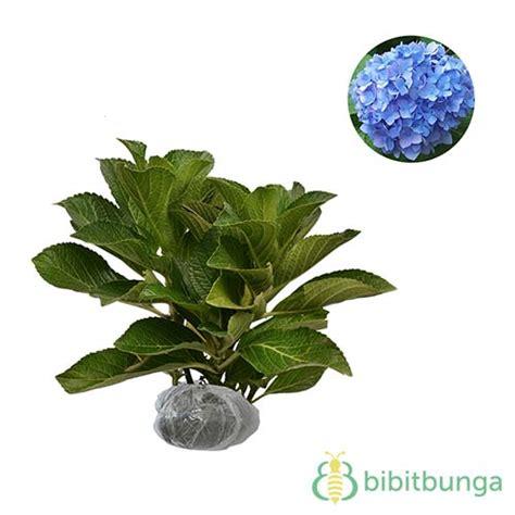 tanaman blue african violet bibitbungacom