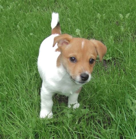 imagenes perros jack russell terrier jack russell terrier conoce la raza consejos wikipets
