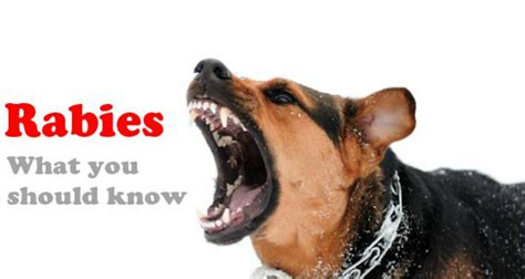 how are rabies for dogs rabies spread it health clinic webhealth clinic web