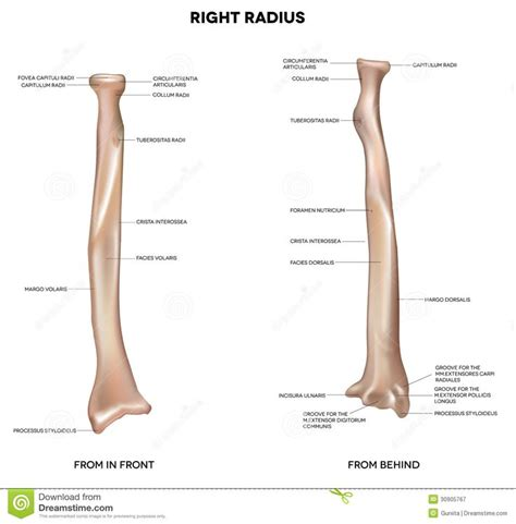 Radius Finder Best 25 Radius Bone Ideas On Radius And Ulna Ulna Bone And Bones