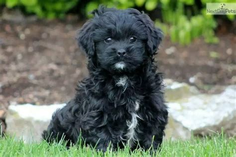 shih tzu puppies for sale in lincoln ne 78 best images about shihpoo shih tzu poodle cross on poodles best dogs