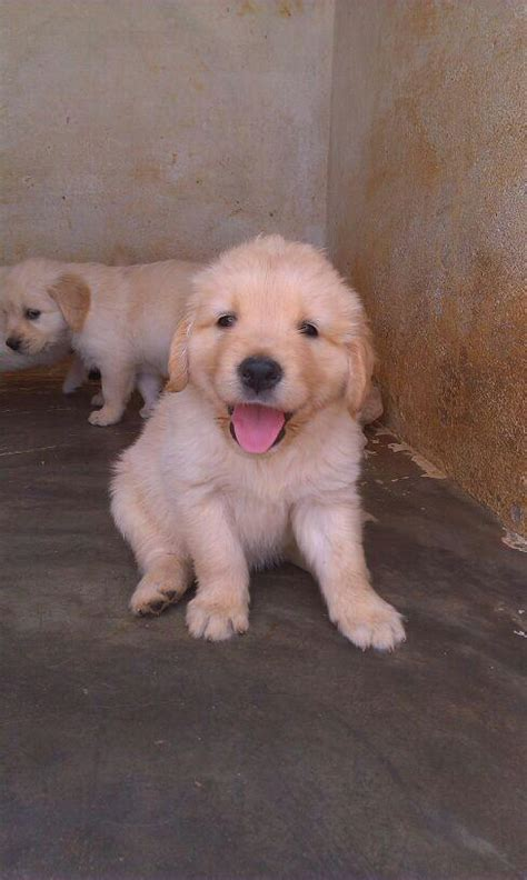 white golden retriever puppies for sale in bangalore golden retriever puppies for sale srinadh nadimpalli 1 15748 dogs for sale price