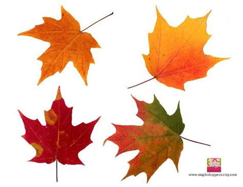 free printable maple leaves printable autumn leaves images reverse search