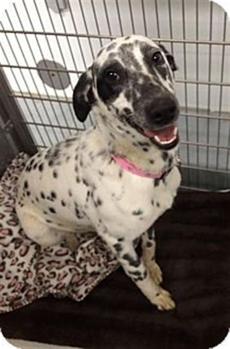 english setter boxer mix www pixshark com images english setter boxer mix www pixshark com images
