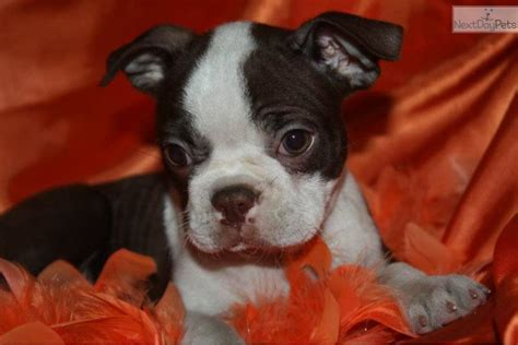 brown boston terrier puppies for sale boston terrier puppies is a brown boston terrier puppy for sale breeds
