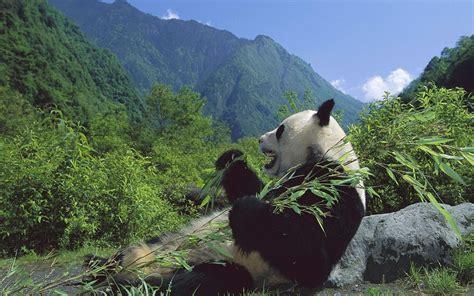 flora and fauna images save the panda bears wallpaper photos 18586490