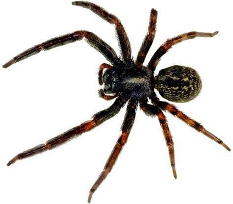spider images spider png images free spider png photo pictures
