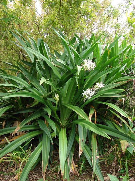 Tropical Forest Plant - crinum asiaticum images useful tropical plants