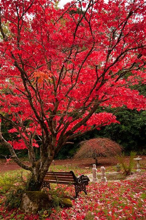 100 best images about japanese maple fall color on pictures of and emperor