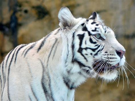imagenes en 3d de tigres les felins page 3