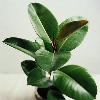 best plants for low light 10 best houseplants for low light ficus elastica rubber