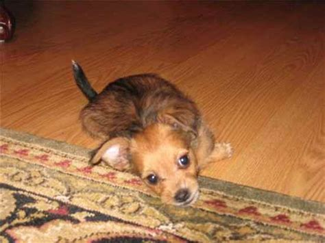yorkie papillon mix puppies yorkillon papillon yorkie mix info temperament puppies and pictures