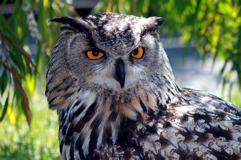 file eagle owl img 9203 jpg wikimedia commons
