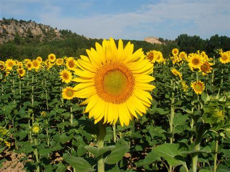 Sunflower S 1 hd sunflower wallpaper hd flower wallpaper