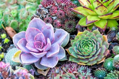 succulent facts succulent care succulent facts petal talk