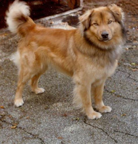 shepherd golden retriever mix golden retriever german shepherd mix black