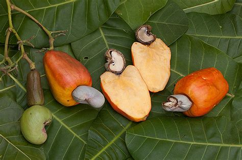 cashew nut fruit tree the cashew nut is actually a solid protrusion from a