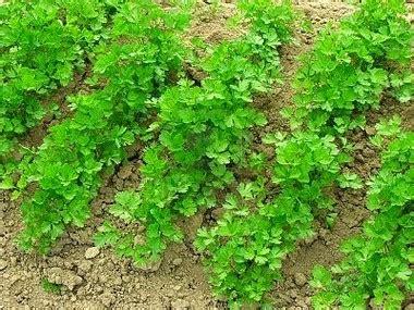 come seminare il prezzemolo in vaso coltivare prezzemolo in vaso o in piena terra cucina green