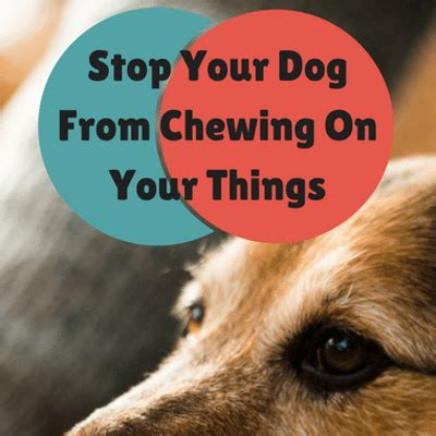 how to your to stop chewing on things cesar millan how to get your to stop chewing your things