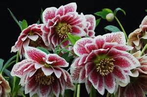Which Gardening Zone Am I In - black gold hellebores for late winter color black gold
