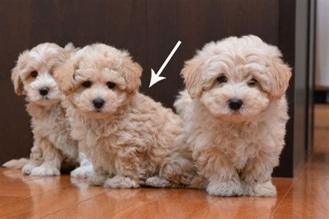 yorkie coton puppies for sale 301 moved permanently