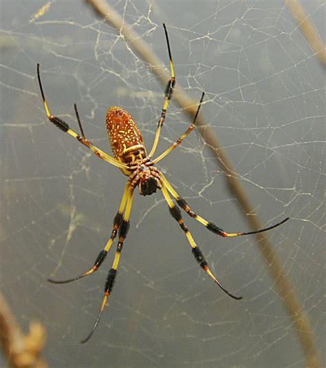 florida backyard spiders florida garden spider poisonous garden ftempo
