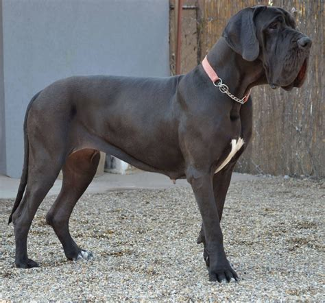 show me pictures of great dane dogs further hypoallergenic miniature pedigree dogs exposed the blog more french great danes