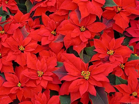 mlewallpapers com red poinsettias