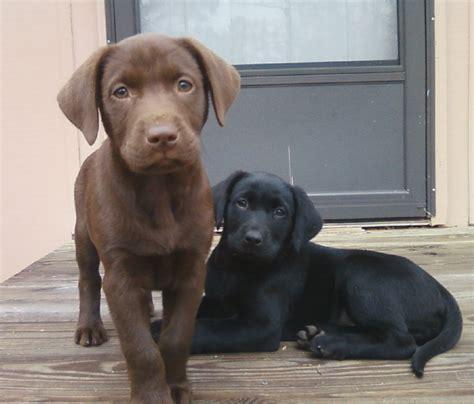 how to labrador dogs how to your labrador retriever labrador retriever retriever and