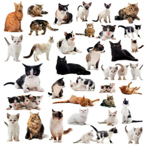 types of house cats different cat breeds types of cats house cats and pure breeds