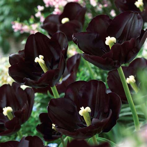 imagenes rosas dark black tulip event floral design awaiting spring