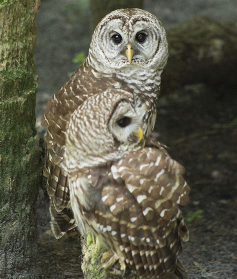 mind boggling facts about barred owls you probably didn t know