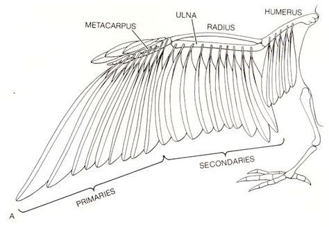 Duck Bones Diagram Duck Anatomy Diagram Wiring Diagrams