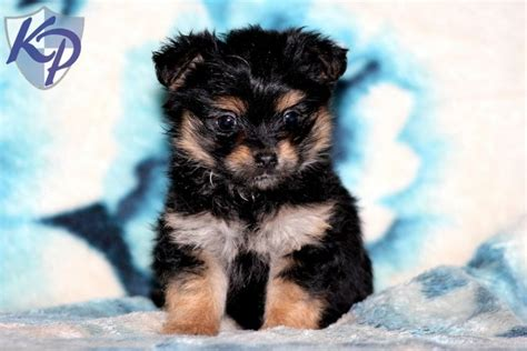 yorkie mix puppies for sale in pa 1000 images about yorkie mix puppies for sale on