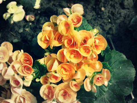 how to care for begonia potted plants flower pressflower
