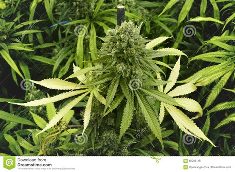 wide close up of leafy marijuana plant with bud on top at