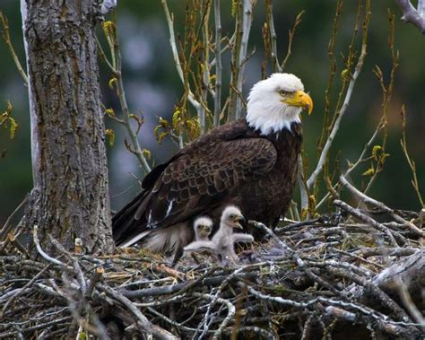 b3 the baby eagle based on a true story books two day bald eagle active in nest the