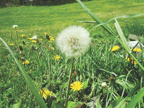 How To Cut Weeds In Backyard by Columnist Ingram On Common Weeds And Dealing With Them The Chestermere Anchor Weekly