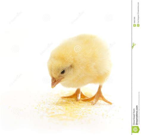 imagenes libres pollo consumici 243 n del pollo im 225 genes de archivo libres de