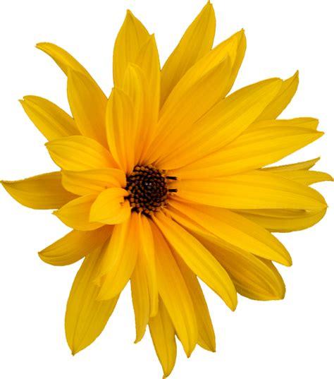 margarita png foto gratis margarida png flor tosquia imagem gratis