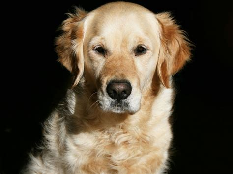 golden retriever animales perros golden retriever