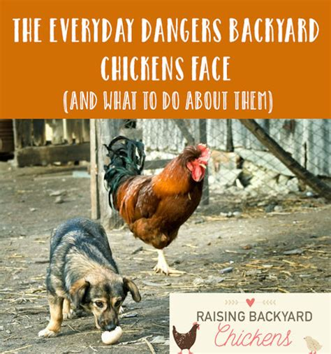 chickens for backyards coupon code the everyday dangers backyard chickens face