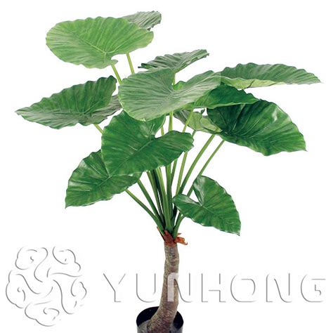 indoor plant seeds online buy wholesale taro from china taro wholesalers