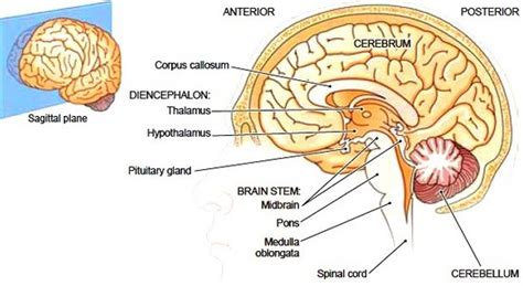 saggital section of the brain of a sagittal section of a brain brain stem and spinal