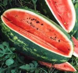 Bibit Buah Semangka benih semangka kongo