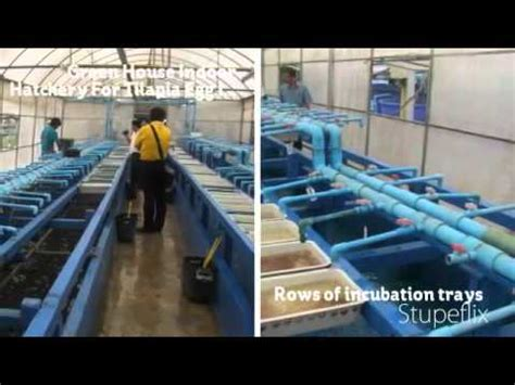 tilapia hatchery layout tilapia hatchery for mass production of fish fries www