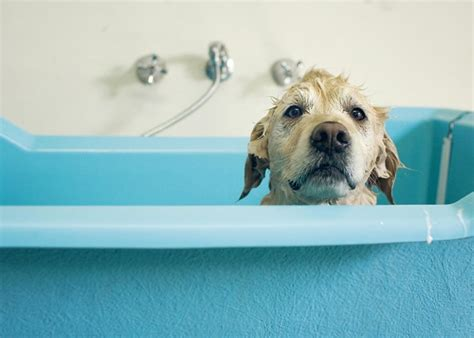 Dogs In A Bathtub Dictionary by Dogs 101 Bathing Your Dogtime