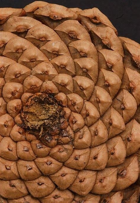 pattern and structure found in nature pine cone fibonacci pattern