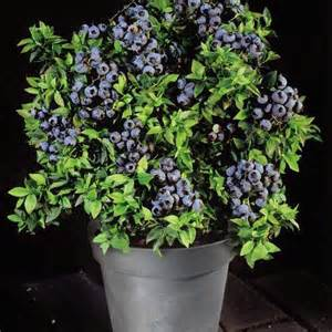 how to plant blueberry bush in container