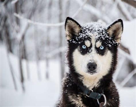 alaskan sled dogs alaskan husky pet insurance compare plans prices